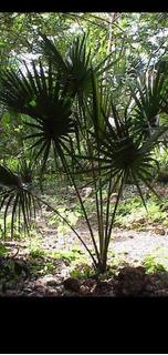 Palma De Guano, Matas De 15. A 25 Centímetros.