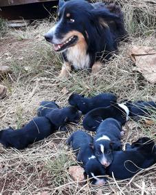 Cachorros Boder Collie