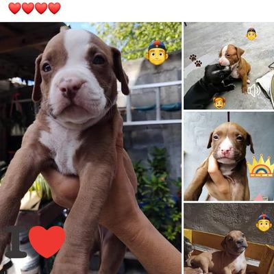 Cachorros Pitbull 1 Mes, Ya Desparacitados ¿¿