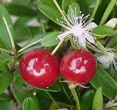 Eugeniamattosii Cerejinha Para Vasos E Bonsai E Sementes