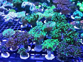 Corais Hammer Green+hammer Purple+frog - Uma Boca De Cada