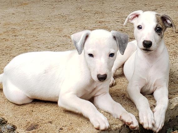 Mascotas. Cachorros Whippet