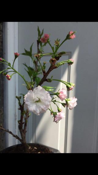 Cerezo Doble Pétalo Sakura Kwanzan