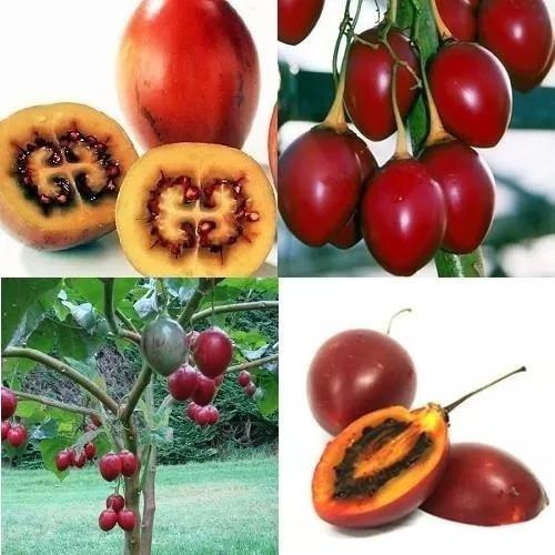 Sementes De Tamarillo Gigante Tomate De Árvore  Tamarilho