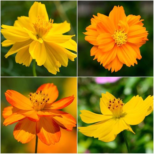 Imagem 1 de 5 de Cosmos Mix Laranjas Amarelos 100 Sementes Flor Pasto Apicola