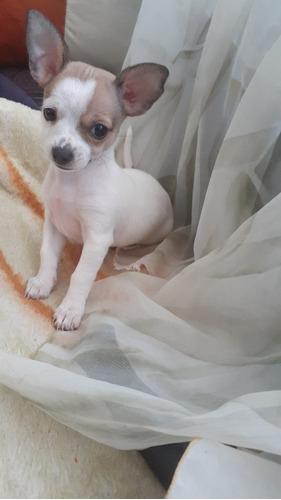 Cachorro Chihuahua Cabeza De Venado