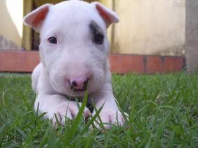 Bull Terrier Magníficos Filhotes