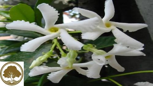 Imagen 1 de 3 de Jazmin Helice - Planta  40cm  Jasmin De Aroma Enredadera