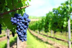 Plantas De Viñas Vid Parra Injertadas Uva Mesa O Vino