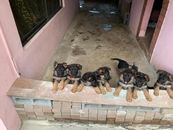 Pastores Alemanes Cachorros