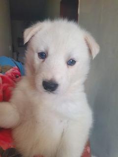 Último Cachorro Huskie
