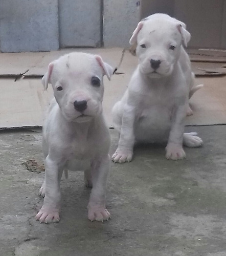 Dogo Argentino Com Pedigree
