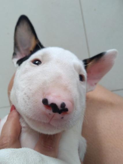 Bull Terrier Macho