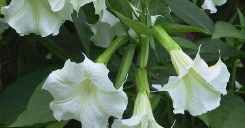 Plantas Floripondio 20 A 40 Cm Blancos O Trompeta De Angel