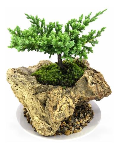 Paisajismo Japonés Bonsai Pino 4 Años Edad En Piedra Fósil