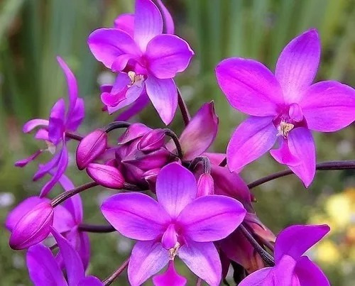 10 Plantas De Orquídea Spathoglottis Plicata (envio Gratis)
