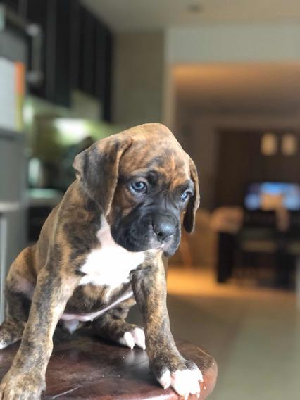 Cachorros Boxer Atigrado Vacunados Cola Corta Desparasitados