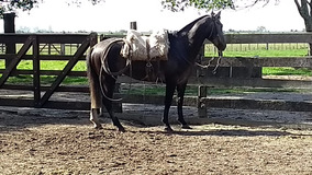 Cavalo Tordilho Negro