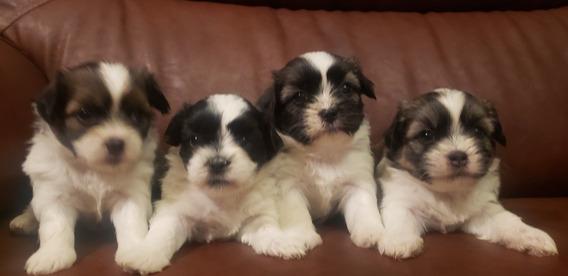 Hermosos Cachorritos Shih Tzu