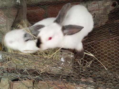 Imagen 1 de 1 de Conejos California