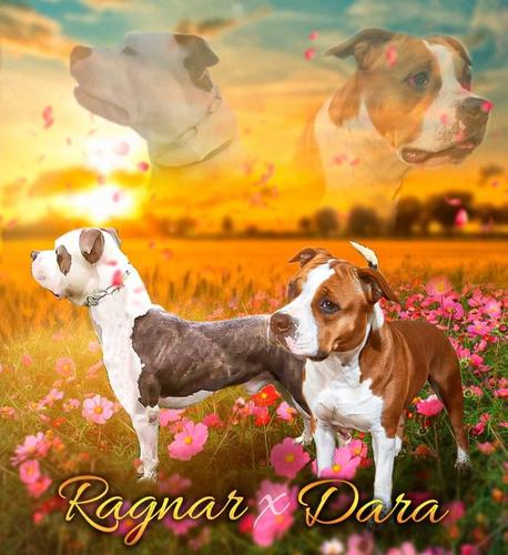 Imagem 1 de 5 de Filhotes De American Staffordshare Terrier