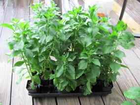 Stevia Adoçante Natural Ervas - Sementes Para Mudas