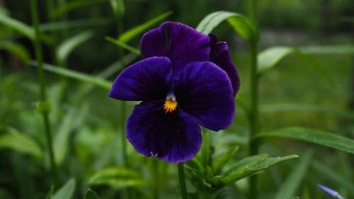 100 Semillas Flor Pensamiento Azul + Obsequio Germinación