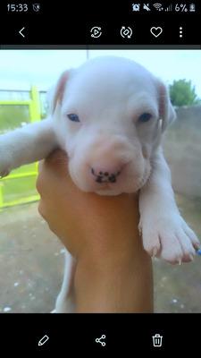 Vendo Ultimo Cachorro Dogo Argentino 2meses