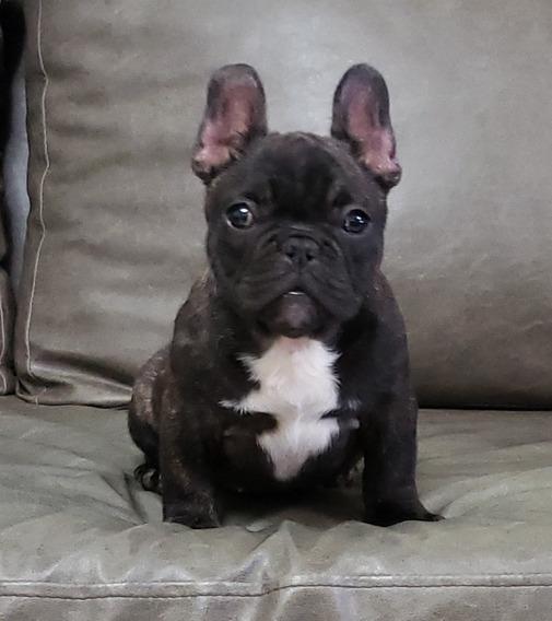 Cachorros Bulldog Francés Machos Y Hembras !