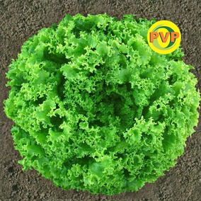 5000 Sementes Peletizada Alface Crespa Pira Verde Tecnoseed