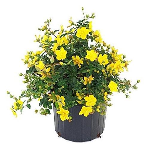 Hidropote Hypericum Amarillo Planta De Floracion En Bote De