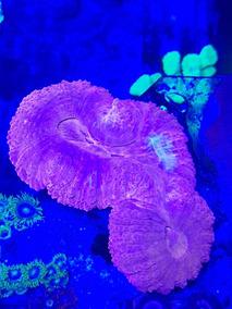 Lobophylia Vermelha Gg 4 Bocas Em Divisao