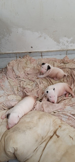 Filhotes De Bull Terrier 28.07.2019 , Sem Pedrigue