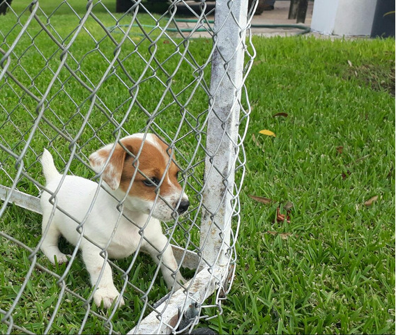 Ultimo! Cachorro Macho Jack Russell Pelo Liso