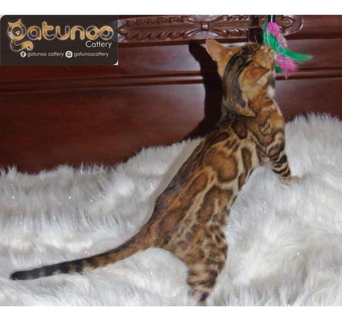 Hermosos Gaticos Bengali