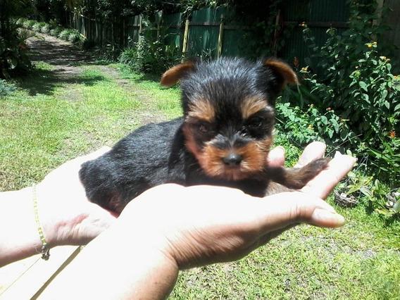 Vendo Cachorrito Yorkie Mini