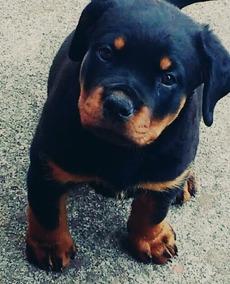 Últimos Filhotes Rottweiler Alemão Cabeça De Touro