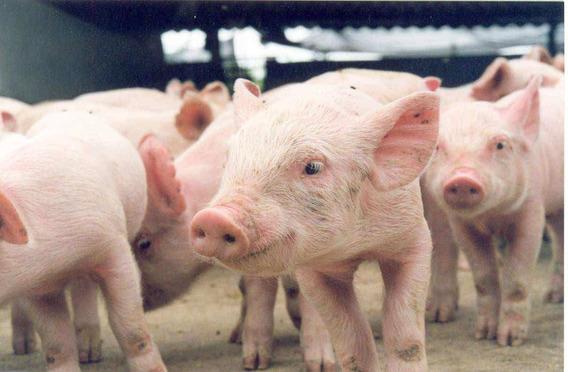 Curso Criação De Porcos