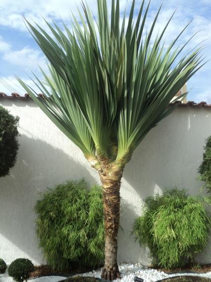Palmeira Pandanus Mercadolivre Com Br