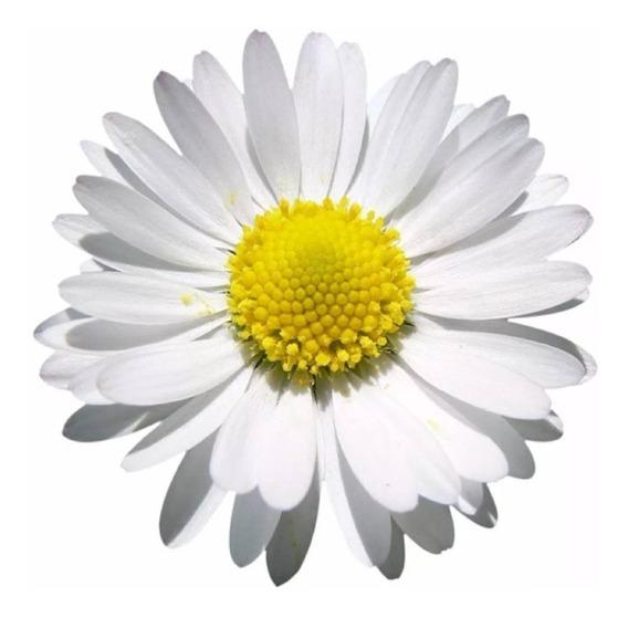 Semente Margarida Sementes Flores No Mercado Livre Brasil