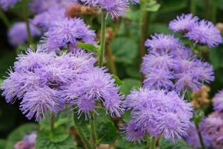 Semillas De Flores Importadas De Holanda 78 Variedades X 10s