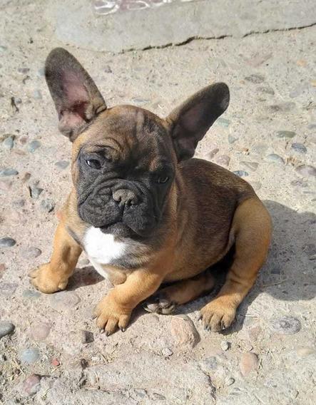 Cachorros Bulldogs Francés