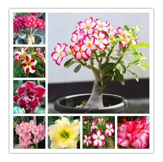 Semente De Rosa Do Deserto Mix Cores - 15 Sementes Adenium