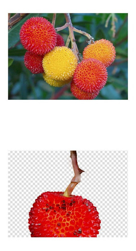 Imagem 1 de 10 de Sementes Árvore De Morango Medronho Arbutus Unedo Fruta