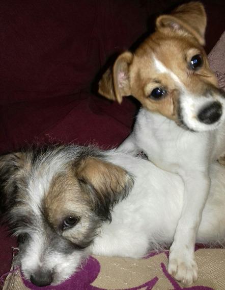 Cachorros Jack Russell Nieto De Perros Importados C/ped.fca