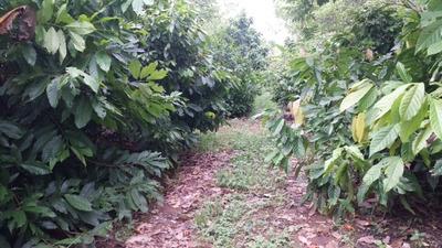 Finca De Cacao En Fantino, La Vega