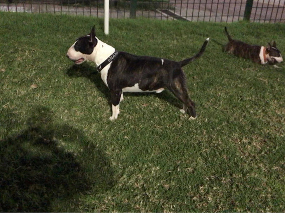 Bull Terrier Pini De Peracho Servicio De Stud Con Fca