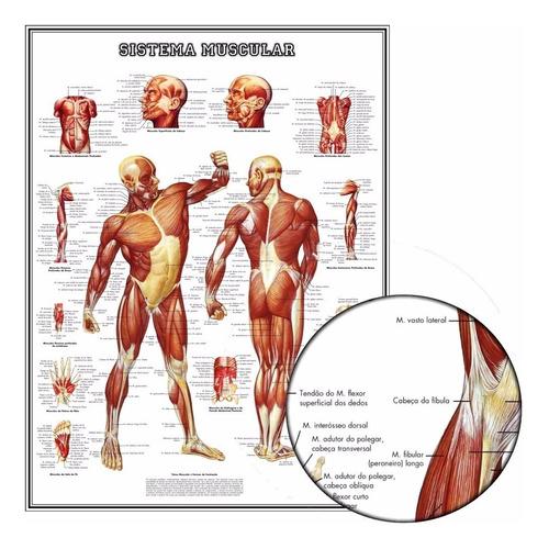 Poster Anatomia Músculos 60x80cm Academia P/ Ornamentar Sala
