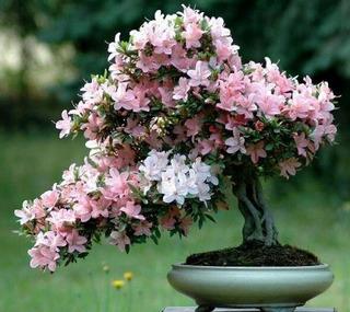 20 Sementes Japonês Bonsai Cerejeira Sakura Flores