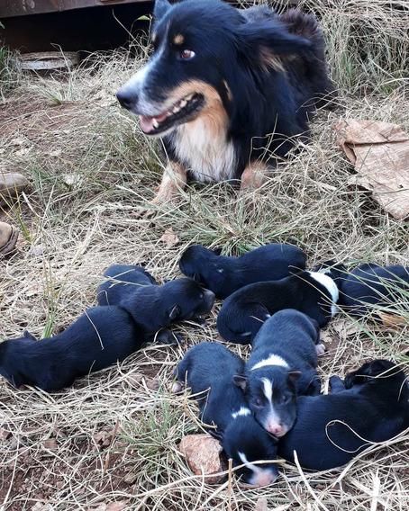 Cachorros Buder Collye